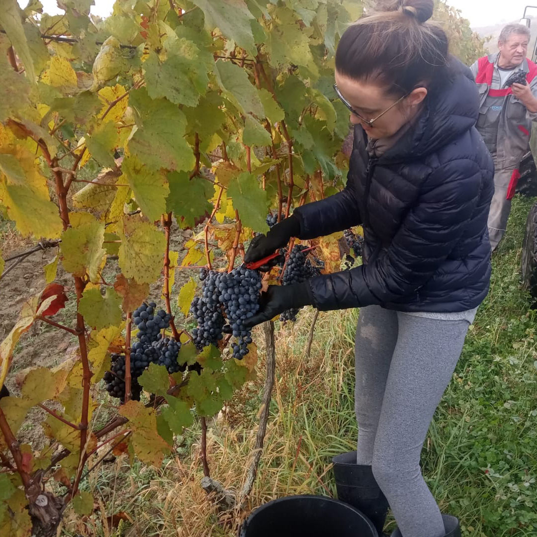 Sklizeň vín v Arte Vini Velké Pavlovice 2020